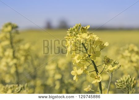 Close up detail of a yellow rape flower Brassica napus also known as rapaseed canola and colza grown for its seeds rich in oil for use as animal fodder as a vegetable oil for cooking and biofuel