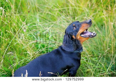 Black Dachshund Open-mouthed Look Up Among The Green Grass