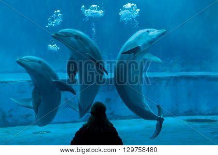 GENOA, ITALY - MARCH 22, 2016: Animal trainer performs with common bottlenose dolphins (Tursiops truncatus) in the Genoa Aquarium in Genoa, Liguria, Italy.