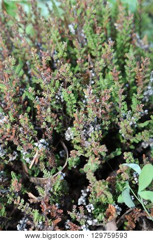 Ling (Callúna vulgáris) - evergreen shrub and national norway flower