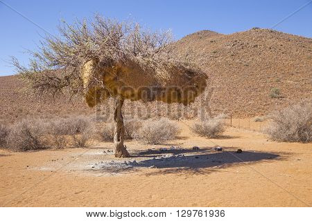 Tree in Tirasberge Namibia with the nests of the sociable weaver a bird that build large compound community nests a rarity among birds. These nests are perhaps the most spectacular structure built by any bird.