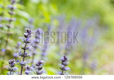 Blue Bugle Flowers With Green Background