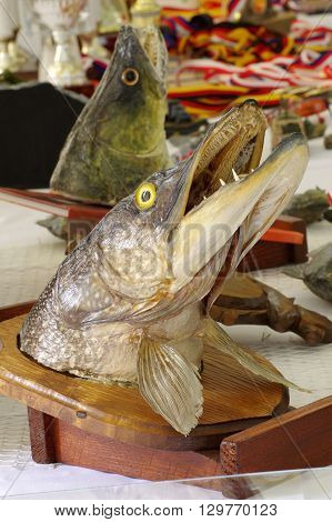 Pike head fishing trophy taxidermy objects  theme.