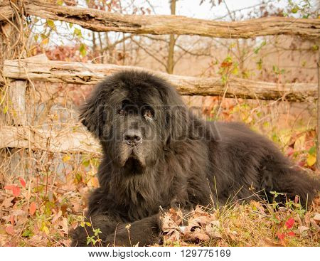 Portrait of a large black Newfoundland dog lying outdoors in a natural setting in front of old wood fence.