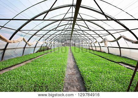 Young cabbage seedlings growing  in a large greenhouse.