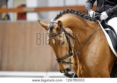 Braided mane for dressage sport horse during a dressage training indoors