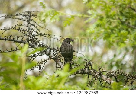 Song Thrush perched on tree branch on green background