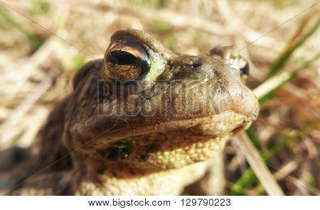 Frog - Bufo Bufo - macro view on