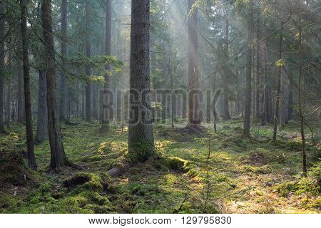 Sunbeam entering coniferous stand in misty morning, BIalowieza Forest, Poland, Europe