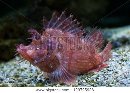 Weedy scorpionfish (Rhinopias frondosa), also known as the popeyed scorpionfish. Wild life animal.