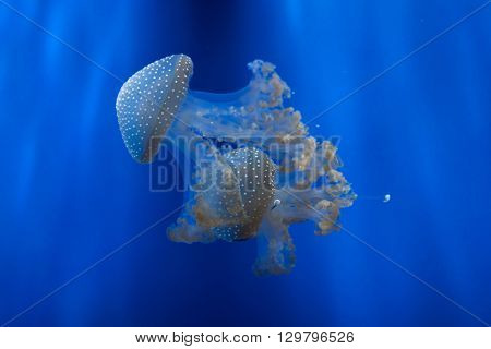 White-spotted jellyfish (Phyllorhiza punctata), also known as the Australian spotted jellyfish. Wild life animal.