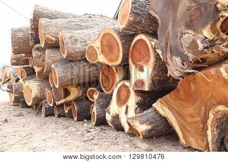 pile of Rain tree wood in cut into piece are undertaking forestry.