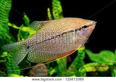 Pearl gourami in a aquarium (Trichopodus leeri)