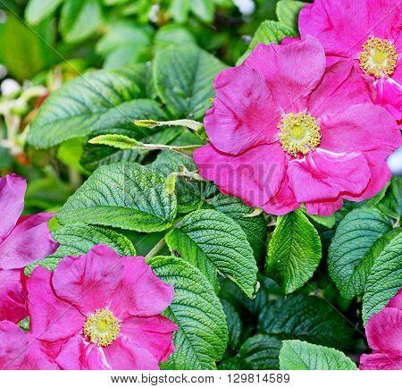 Landscape flower rosehip. Pink flowers of wild rose.