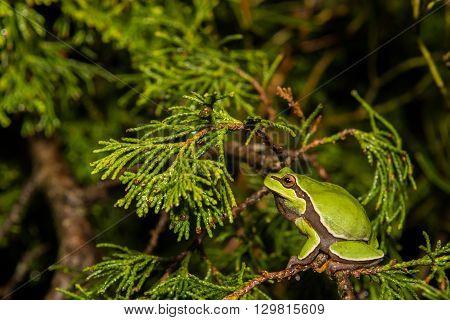 A Pine Barrens Treefrog foraging in a cedar.
