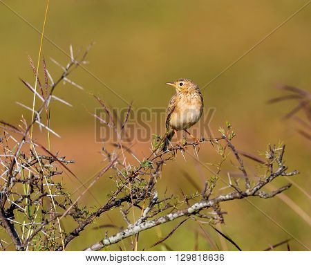 The paddyfield pipit, or Oriental pipit, is a small passerine bird in the pipit and wagtail family. It is a resident breeder in open scrub, grassland and cultivation in southern Asia and India.