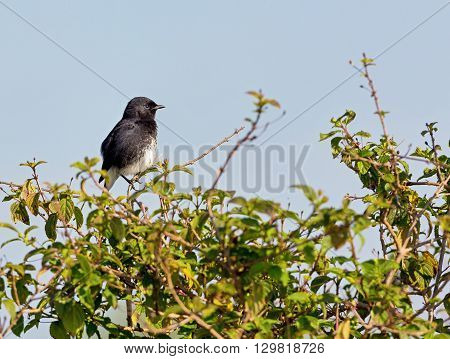 The pied bush chat is a small passerine bird found ranging from West Asia and Central Asia to the Indian subcontinent and Southeast Asia. About sixteen subspecies are recognized through its wide range
