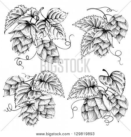 Vintage designs set with hops and leaves. Hops hand drawn in artistic engraved style. Vector illustration.