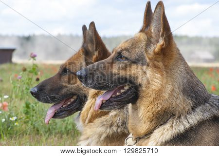 two German sheepdogs are laying on the grass