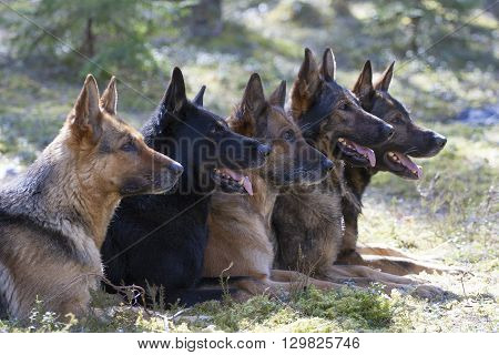 five German Shepherds are laying in the forest