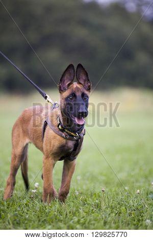 young Belgian shepherd is walking by the grass