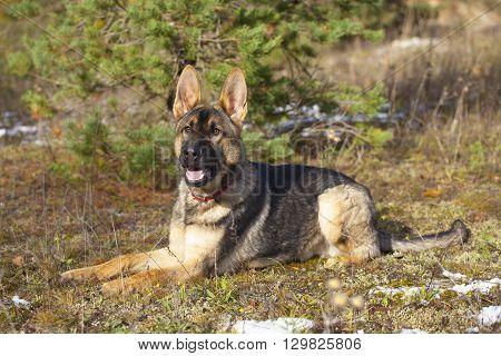 White Swiss Shepherd`s Puppy