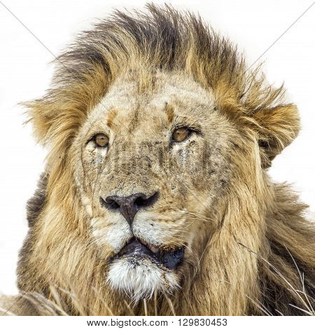 Specie Panthera leo family of felidae, african male lion in whitte background, in kruger park, South Africa