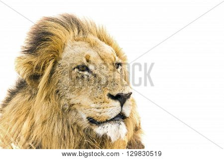 Specie Panthera leo family of felidae, portrait of a male lion in white background, Kurger Park, South Africa