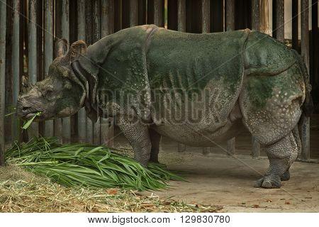 Wild Great one-horned rhinoceros eating grass