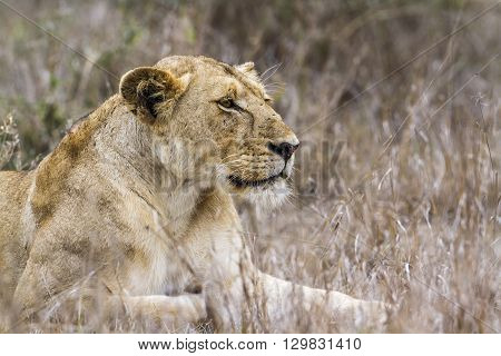 Specie panthera leo family of felidae, african young lion in kruger park, South Africa