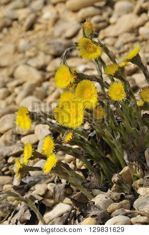 Colts Foot - Tussilago farfara Flowering on gravel