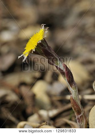 Colt's Foot - Tussilago farfara Yellow Spring Flower