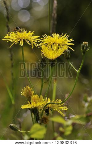 Smooth Hawksbeard - Crepis capillaris Grassland Wild Flower with Hoverfly