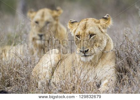 Specie panthera leo family of felidae, portrait of an african lioness and its young in kruger park, South Africa