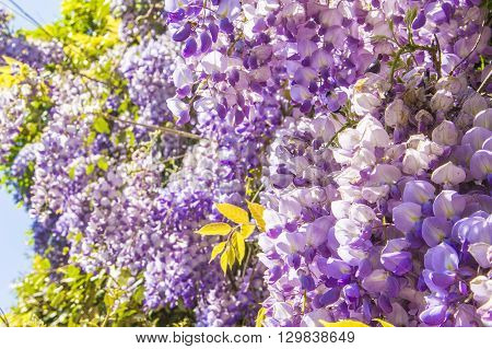 floral background blur beautiful purple wisteria blossoms in the park