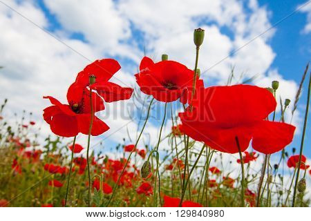 Blooming Poppies