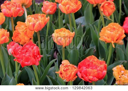 Pretty image of bright and cheery color of Springtime tulips in backyard landscaped garden.