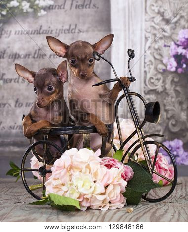 Toy Terrier on a bicycle