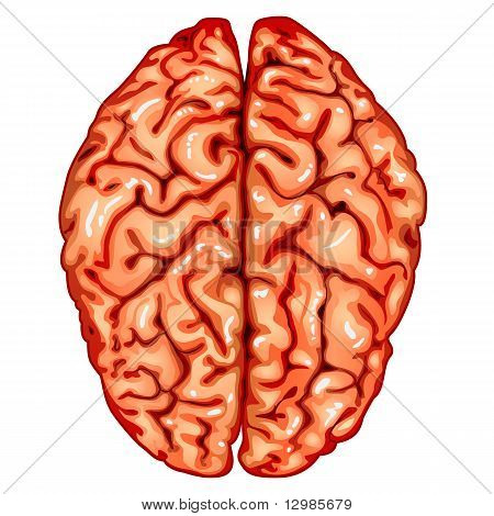 Human brain diagram images illustrations vectors human brain human brain top view ccuart Choice Image
