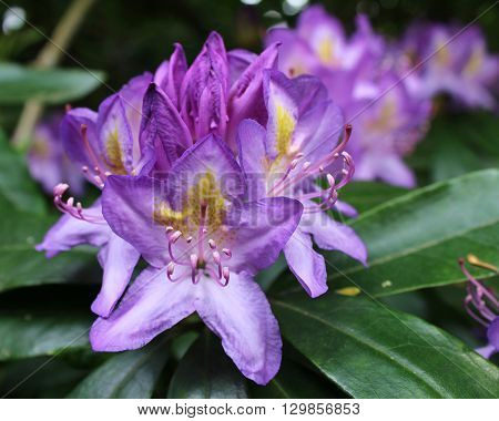 The beautiful lavender flowers of a Rhododendron shrub, flowering in the spring, in an outdoor setting.