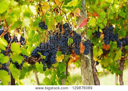 Closeup of bunch of red grape in the vinyard