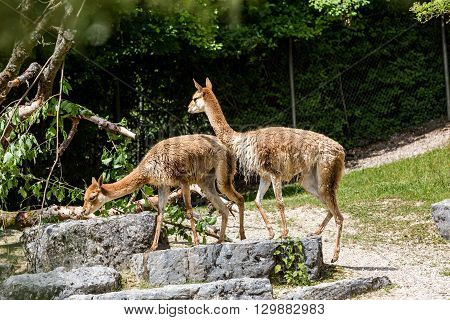 View Of A Lama Vicugna In A Zoo Garden