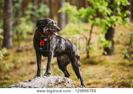 Small Size Black Hunting Dog Posing On Stone In Summer Nature Forest