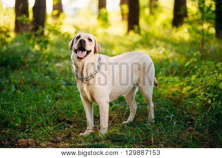 White Labrador Retriever Dog Looking Up In Forest Park