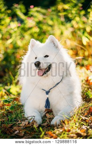 Funny Happy White Samoyed Dog Outdoor in Summer Forest, Park