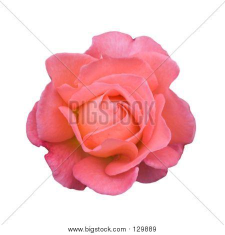A Pink Rose (1)