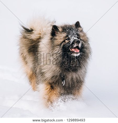 Young Keeshond, Keeshonden Dog Play In Snow, Winter Park