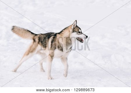 Young Husky Dog Play Outdoor In Snow, Winter Season. Sunny Day