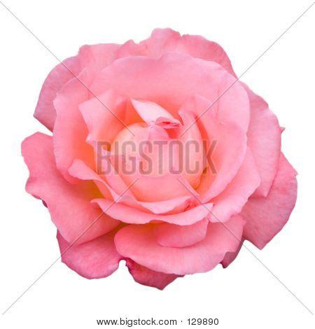 A Pink Rose (2)
