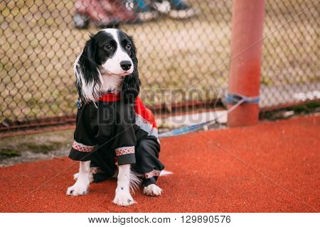 Young Spaniel Dog Sitting On Floor Outdoor And Waiting Owner.